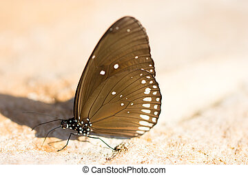 Common Indian Crow Butterflies Euploea core