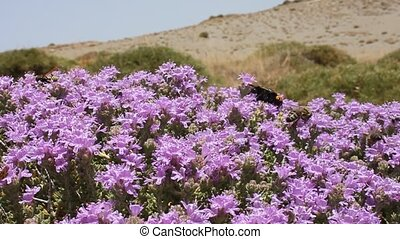 Buzzing Bees, wasps and hornets on thyme flowers, Crete...