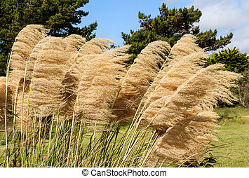Pampas Grass Heads - Pampas grass seed heads with the wind...