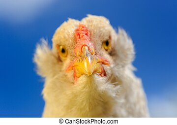 Chicken Close-Up Against Blue Sky - A close-up of a chicken...