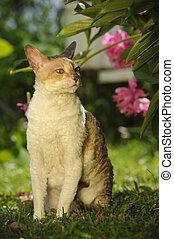 Cornish Rex Cat Outdoors - A cute adult Cornish Rex cat...