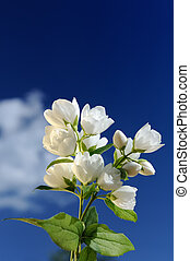 Beautiful White Jasmine Flowers Against Blue Sky - A branch...