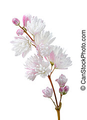 Beautiful Deutzia Scabra Flowers on White Background - A...