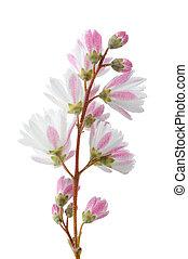 Elegant Pinkish White Fuzzy Deutzia Flowers on White...
