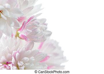 Pretty Pinkish White Deutzia Scabra Flowers on White...