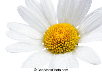 Daisy Chamomile Flower with Water Drops on White Background...