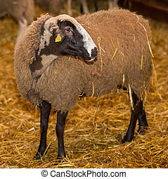Black Sheep, White Fleece - Side view of black sheep inside...