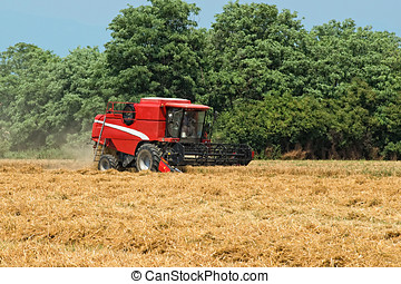 Thresher harvesting wheat - An agricultural thresher or...