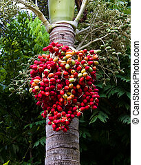 Red ripe Betel nut palm fruit