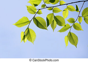 Elm leaves - Elm branch against blue sky, with copy-space