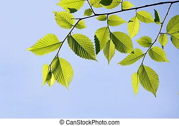 olmo, hojas