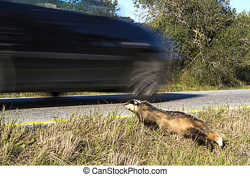 Badger on road killed by car