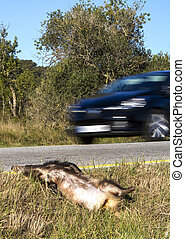 Roadkill - Dead badger on road killed by car