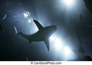 shark from below - one large grey shark underwater seen from...