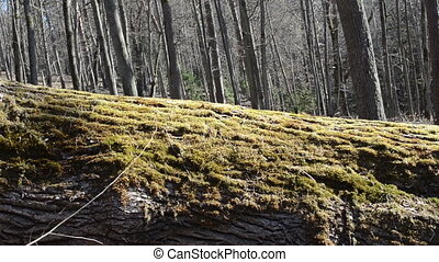 tree trunk moss walk - old moss fallen tree trunk goes girl...