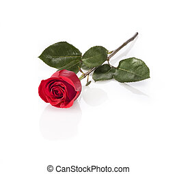 long stem red rose isolated - red rose laying on white...