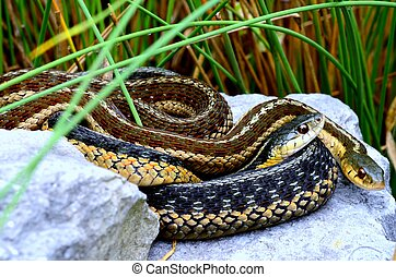 Garter Snakes curled up together on rocks.