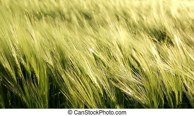 Beautiful cereal field closeup