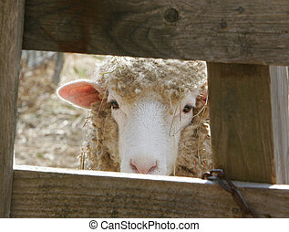 new lamb on the farm - a young ewe lamb peeking through a...