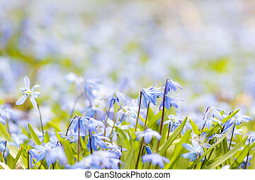 Spring blue flowers glory-of-the-snow - Spring background...
