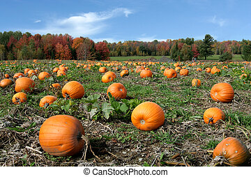 Pumpkins field, ready to harvest