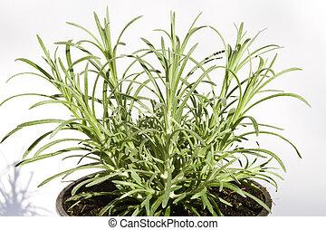 caril, planta