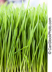 Wheat Grass - Vertical shot of fresh green wheat grass.