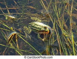 Frog in the pond - Frog on the algae in the pond