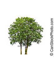 白色, 樹, 背景