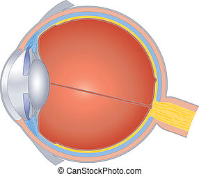 Structures Of The Human Eye - Isolated illustration of the...