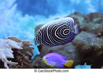 Angel fish - beautiful blue angel fish swims in the ocean