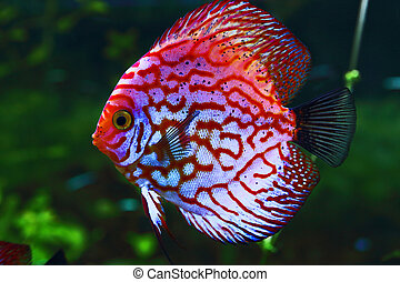 pink discus
