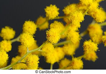 Acacia Mimosa Branch with Yellow Flowers Closeup - A closeup...