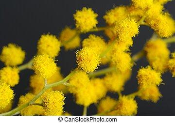 acacia, (Mimosa), ramo, giallo, fiori, closeup