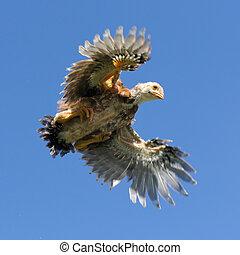 joven, pollo, vuelo, cielo, alas, extensión