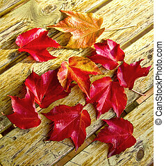 Red foliage of maple leaves, in autumn