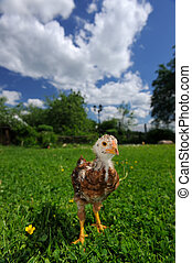 Curious Baby Chicken on Green Lawn - A cute baby chicken...