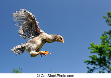 Chicken Flying in the Sky - A little gray chicken flying in...