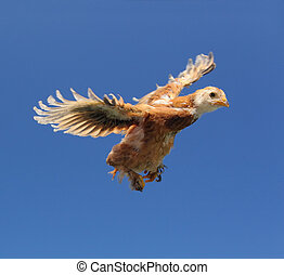 Red Chicken Flying in the Sky with Wings Spread - A cute red...