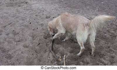 wet hairy dog on sea beach sand with stick