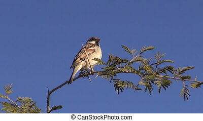 bird house sparrow on branch in India