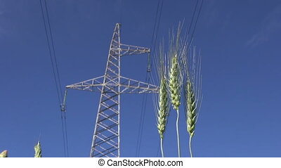 rye ears and High voltage tower - rye ears in wind and High...
