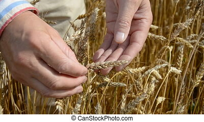 farmers hand looking wheat ears