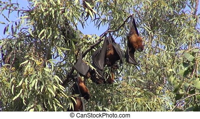 fruit eating fruit bats in India - fruit eating fruit bats...