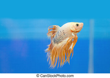 golden fighting fish, betta splendens