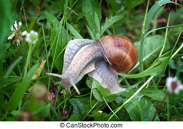 Helix pomatia - Shot of Helix pomatia in the grass
