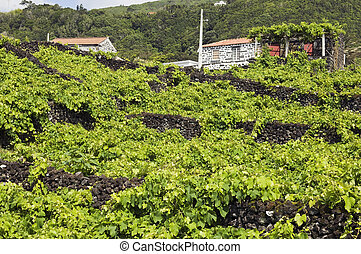 Vineyars of Pico Island, Azores
