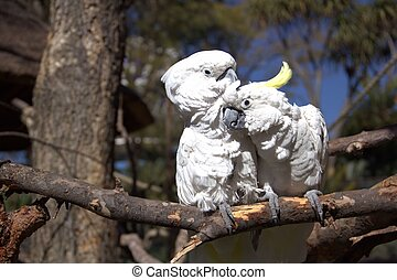Papagáj, párosít, szeret, fehér