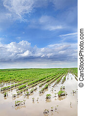 Agriculture - Natural disaster, flooded soy field in spring