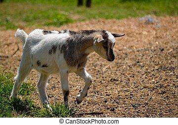 kleine Ziege in freier Natur - Junge Ziege spaziert in...